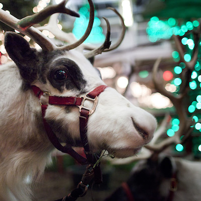 Reindeer at the Zoo!